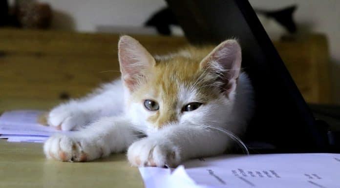 Котката в офиса е полезна