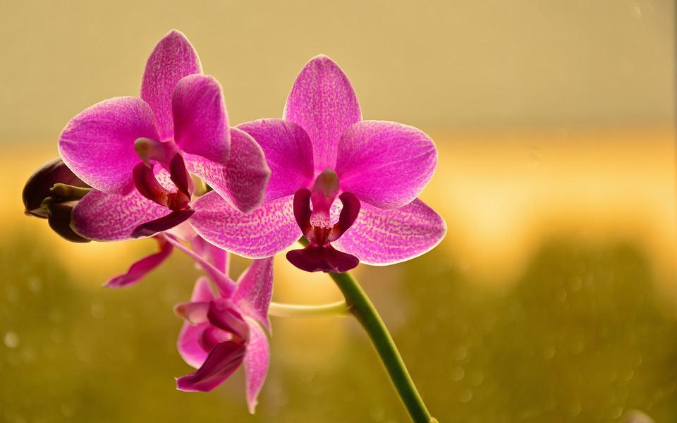 как се полива орхидея