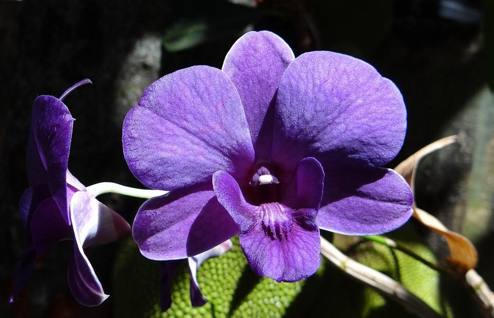 Цъфтеж орхидея