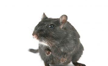 Как да се пазим от мишки